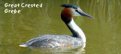 birding in spain gallery 1 great crested grebe photo