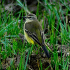 birding in spain spanish yellow wagtail photo gallery 1