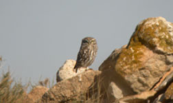 trip report spain birding holiday little owl photo