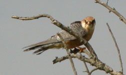 red footed falcon emporda spanish bird tours